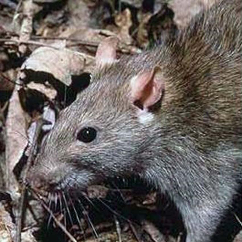 Rats-are-able-to-get-into-your-home-through-holes-as-small-as-a-quarter-_1137_636763_0_7026504_265